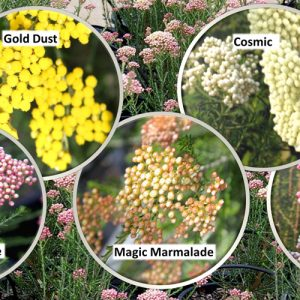 Australian Riceflower (Ozothamnus) Range